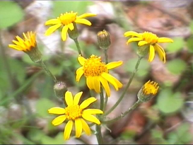 Volim žuto SpringFlowers5-5-00